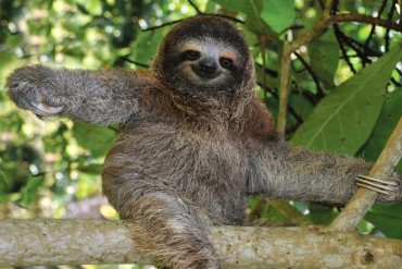 2013-08-17_02_Costa Rica Sloth Wildlife Forest Tree Animal