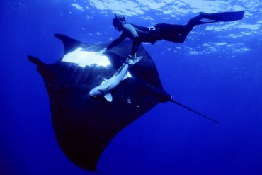 2014-02-25_04_giant-manta-Indonesia