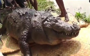 VID: Croc, 100, Dies From Overeating Sacrificial Chickens